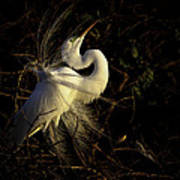 Great Egret In Great Light Art Print