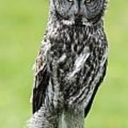 Great Grey Owl, Water Valley, Alberta Art Print