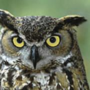 Great Horned Owl Bubo Virginianus Art Print