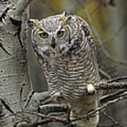 Great Horned Owl Pale Form Kootenays Print by Tim Fitzharris