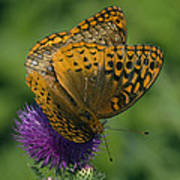 Great Spangled Fritillaries On Thistle Din108 Art Print