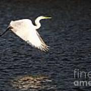 Great White Egret Flight Series - 11 Art Print