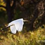 Great White Egret Flight Series - 5 Art Print