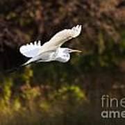 Great White Egret Flight Series - 6 Art Print