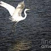 Great White Egret Flight Series - 9 Art Print