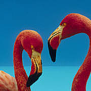 Greater Flamingo Courting Pair Art Print