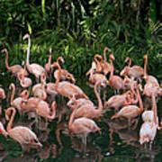 Greater Flamingo Phoenicopterus Ruber Art Print