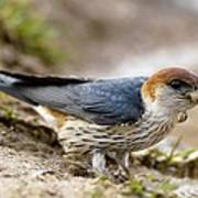 Greater Striped Swallow Art Print by Peter Chadwick