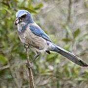 Greedy Florida Scrubjay Art Print