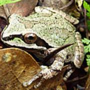 Green And Brown Frog Art Print