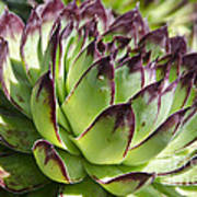 Green And Red Succulent Art Print