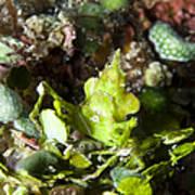 Green Arrowhead Crab, Papua New Guinea Art Print