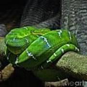 Green Coiled Snake Art Print
