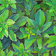 Green Gold Art Print by Yvonne Scott