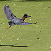 Green Heron In Flight Art Print