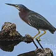 Green Heron Visiting The Pond Art Print