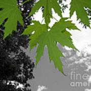 Green Maple Leaves Art Print