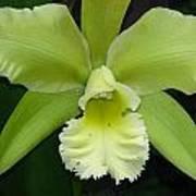 Green Orchid Art Print