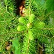 Green Pine Needles 2 Art Print