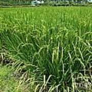 Green Rice Field In Taiwan Art Print