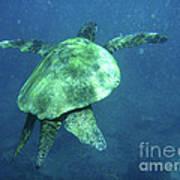 Green Sea Turtle 1 Art Print