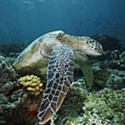 Green Sea Turtle Chelonia Mydas Art Print