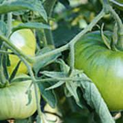 Green Tomato On The Vine Art Print