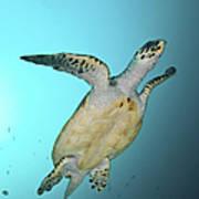 Green Turtle Swimming, Sabah, Malaysia Art Print