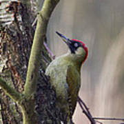 Green Woodpecker Art Print