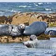 Grey Seals Art Print