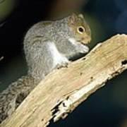 Grey Squirrel Feeding Art Print by Duncan Shaw