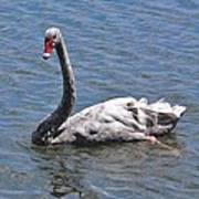 Grey Swan Art Print
