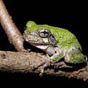 Grey Tree Frog Art Print