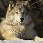 Grey Wolf Canis Lupus In Ecomuseum Zoo Art Print