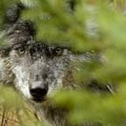 Grey Wolf, Outside Golden, British Art Print
