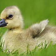 Greylag Goose Gosling Art Print