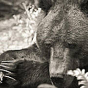 Grizzly At Rest Art Print