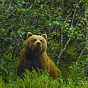 Grizzly Bear Alaska Art Print