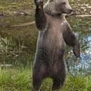 Grizzly Bear Cub Art Print