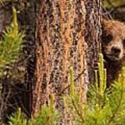 Grizzly Bear Cub Up A Tree, Yukon Art Print