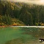 Grizzly Bear Fishing In Chilkoot River Art Print
