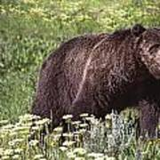 Grizzly Bear In Yellowstone Neg.28 Art Print