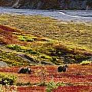 Grizzly Bears And Fall Colours, Denali Art Print