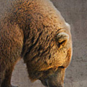Grizzly Hanging Head Art Print
