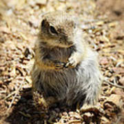 Ground Squirrel Art Print