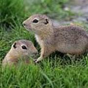 Ground Squirrels, Oak Hammock Marsh Art Print