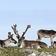 Group Of Caribou Resting On Alpine Art Print