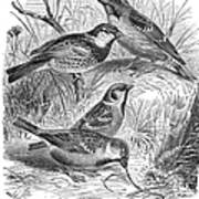 Group Of Sparrows Art Print