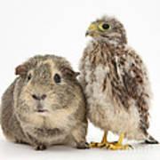 Guinea Pig And Kestrel Chick Art Print
