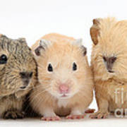 Guinea Pigs And Hamster Art Print